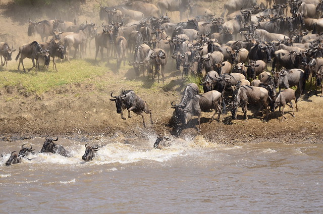 photo of wildebeest migration