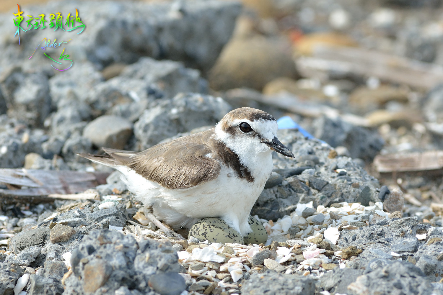 Kentish_Plover_8968