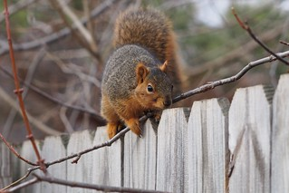 Squirrel, January 11, 2013