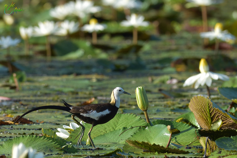Pheasant-tailed_Jacana_3352