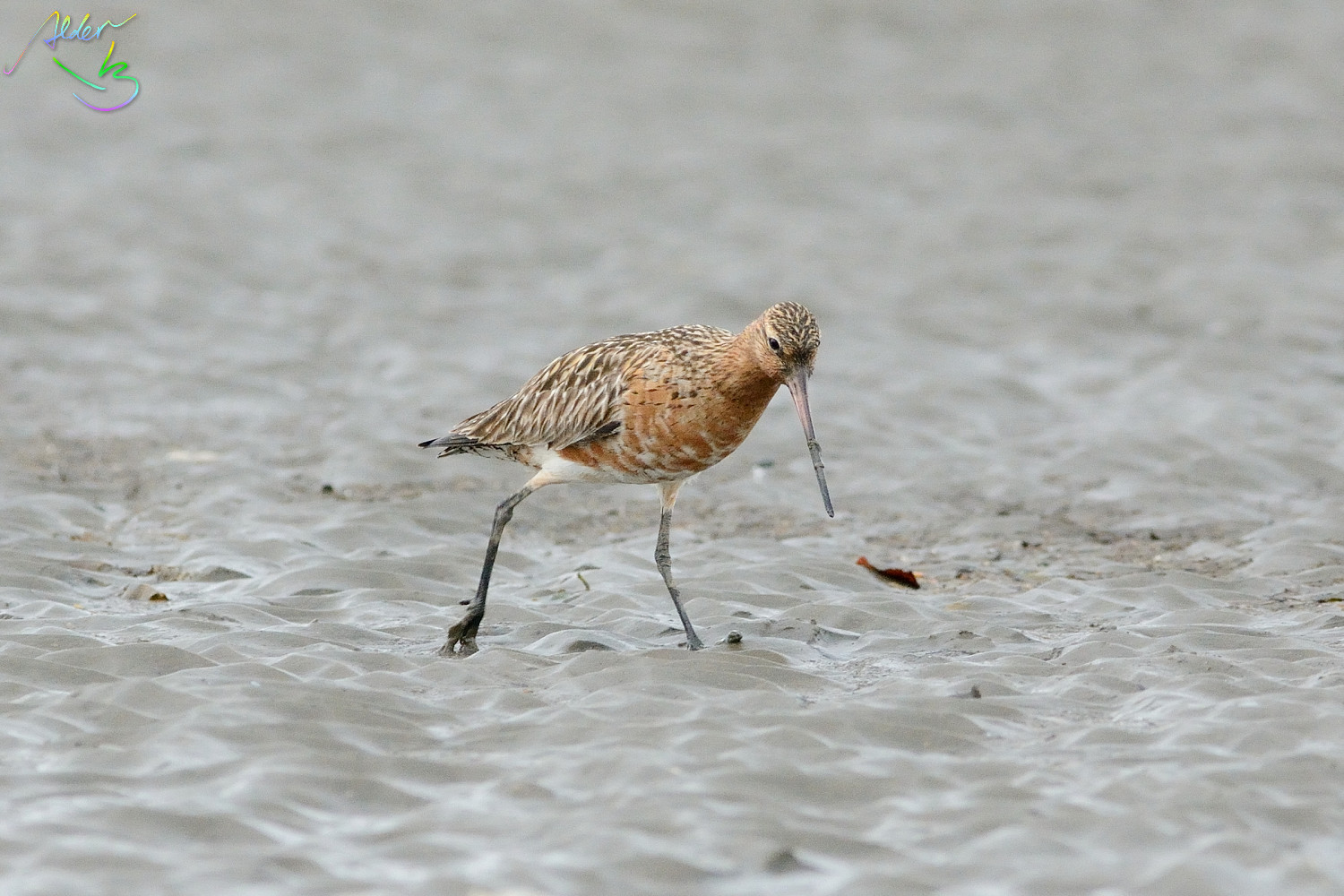 Bar-tailed_Godwit_0647