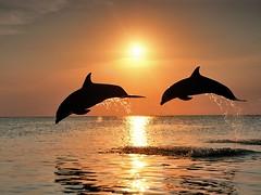 Delfini al tramonto li potrai vedere con una crociera a vela di Arawak Sailing Club!