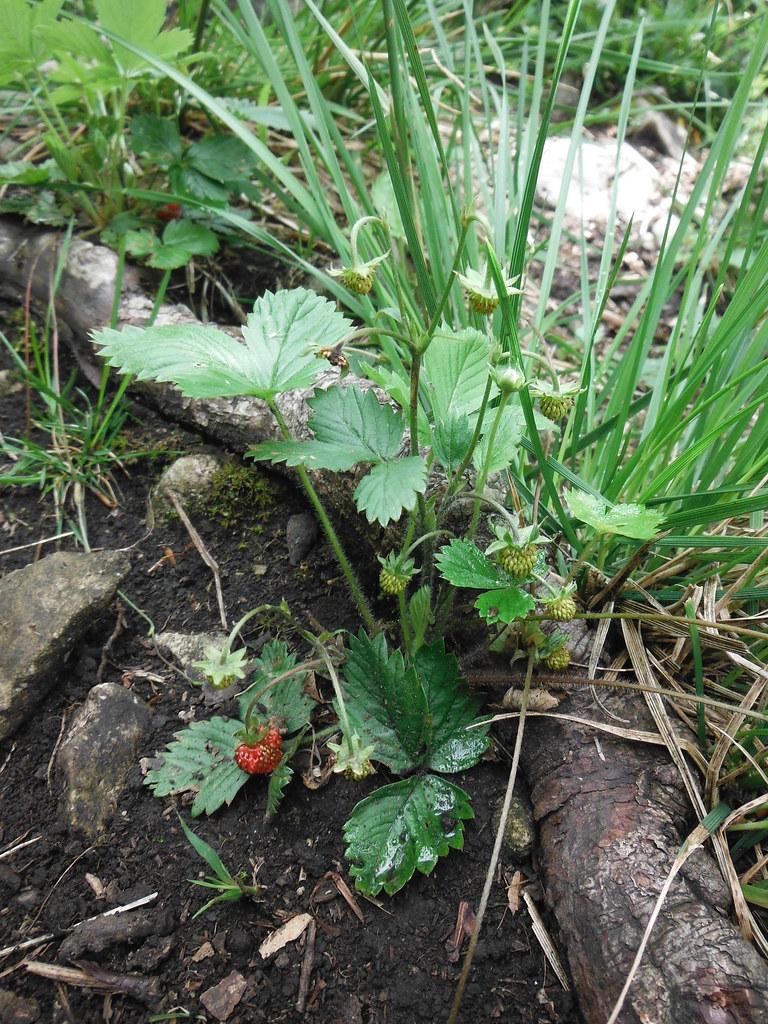 Wild Strawberries 1