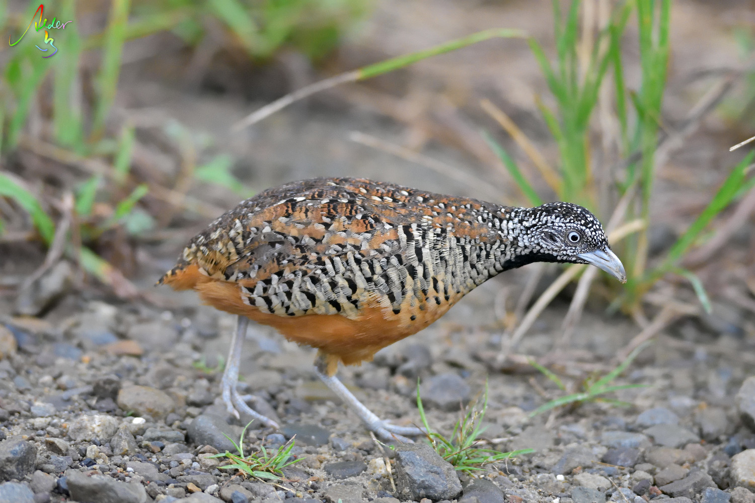 Barred_Buttonquail_1265