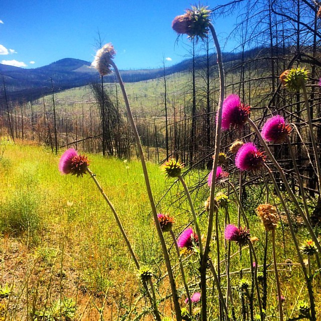 Thistles and burned landscape, Boulder Creek Rd, Ferry County