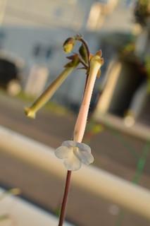 DSC_3738 Sinningia tubiflora シンニンギア 上海の女王 Hardy White Gloxinia