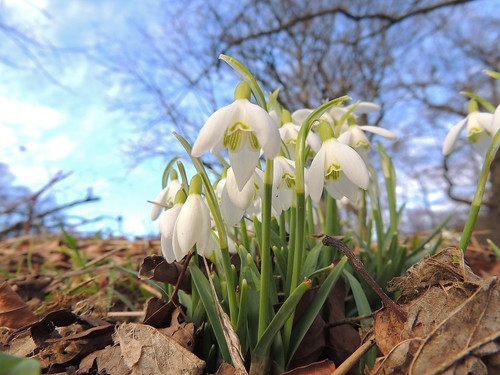 Snow drops    © All rights reserved