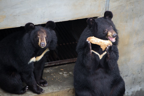 Bears play with each other at Nanning Bear Rescue Centre
