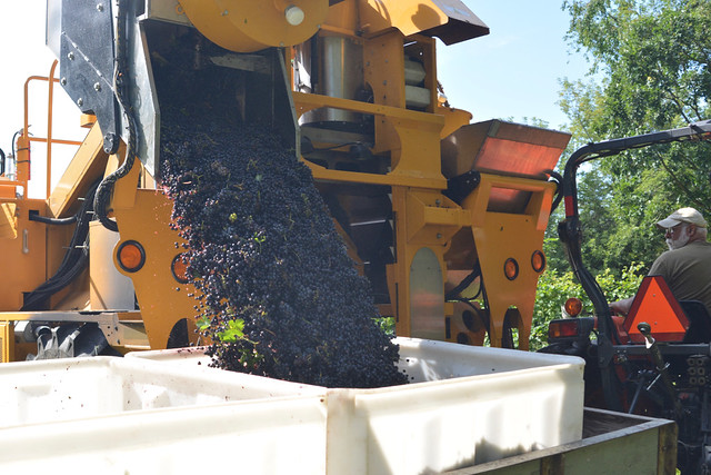 Grape Harvest 2016: Red Grapes