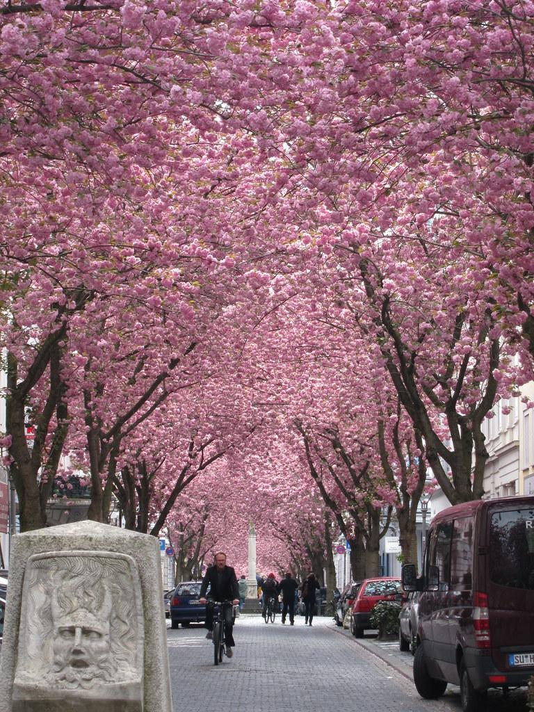 Cherry blossoms in Bonn 188