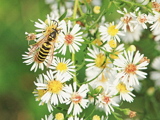 Yellow Jacket on Heath Aster 20160925