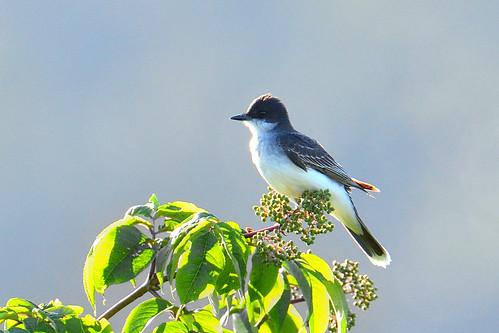 Western Kingbird (Tyrannus verticalis)