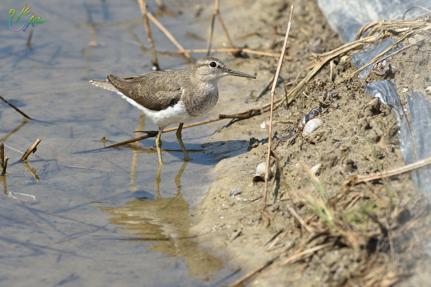 Common_Sandpiper_8856