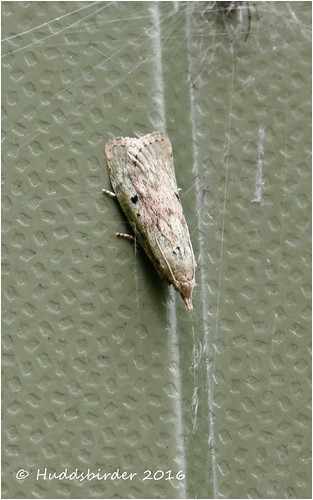 Female bee Moth