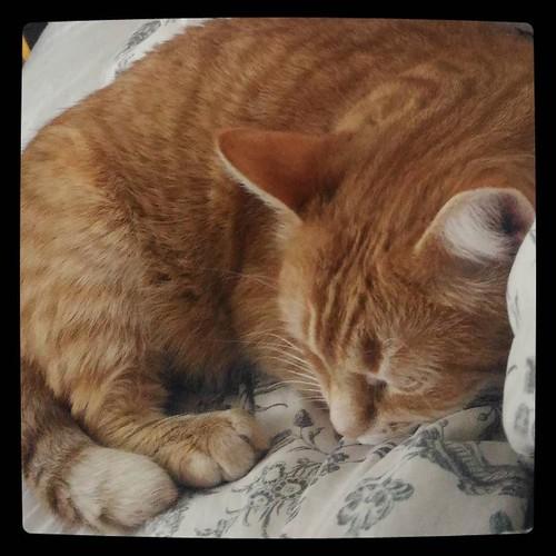 Кототварь спит, а тебе вставать.. Roger, cat in residence, for #365days project, 256/365