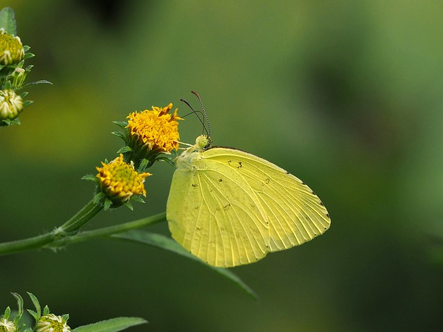 Common grass yellow butterfly (キチョウ)