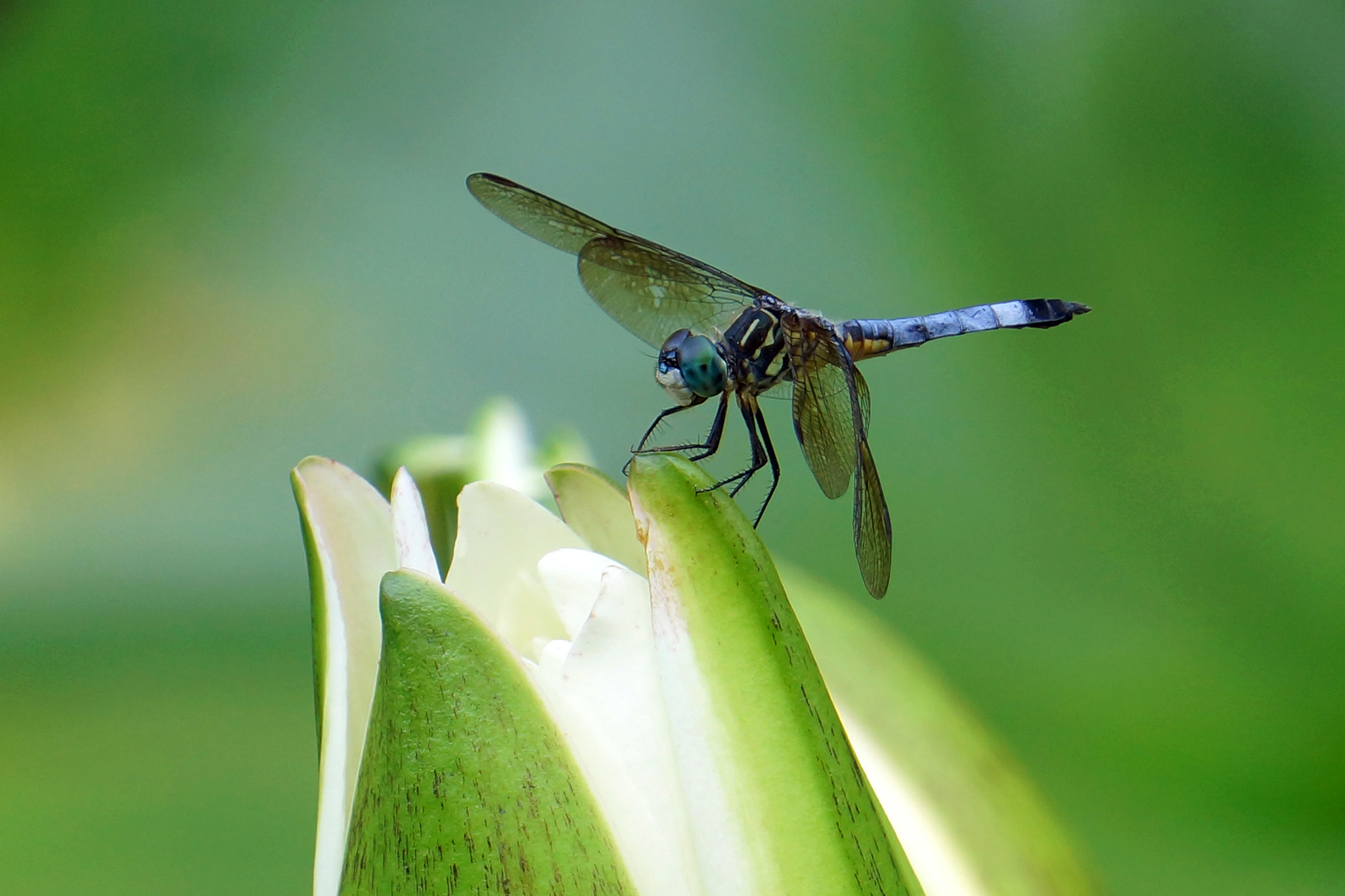 Dragonfly Two