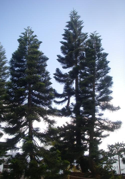 Araucaria columnaris 29536898634_702aa0c3ce_o