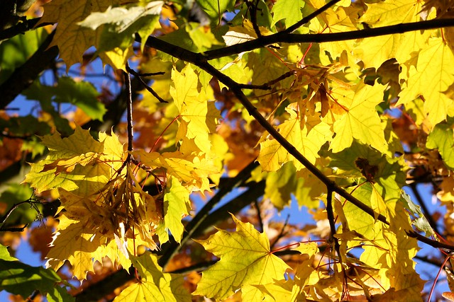 Blue sky, yellow leafs II
