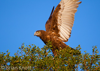 Brown Snake Eagle Takeoff | by Forget Me Knott Photography