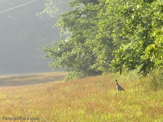 (18-12) We have three wild turkey mama hens living in the hayfield | by Farmgirl Susan
