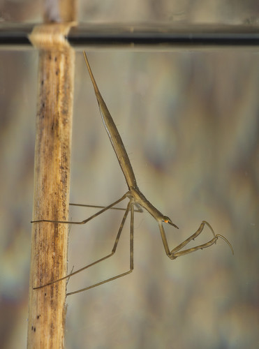 Water stick insect Ranartra linearis side on | by Neil Phillips