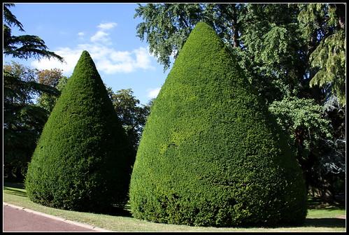 Taxus baccata- deux ifs