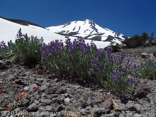 Wildflowers on the side of Mt. Shasta, Shasta-Trinity National Forest, California