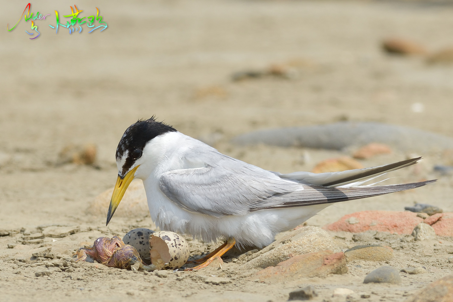 Little_Tern_4848