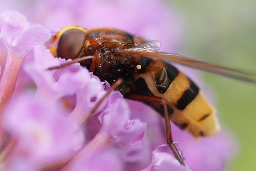 Large hoverfly Volucella zonaria on buddlia #2 | by Lord V