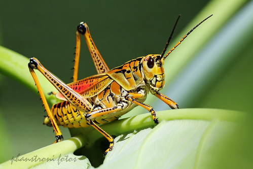 Florida Lubber Grasshopper I Found Two Of These Very