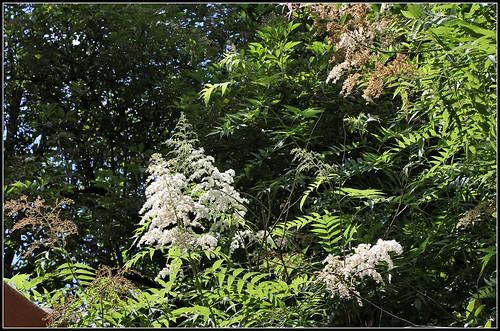 Sorbaria sorbifolia (6)