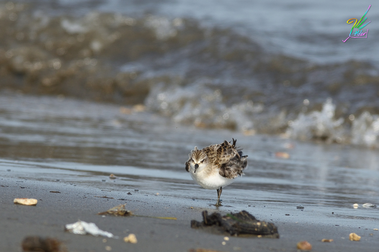Red-necked_Stint_0384