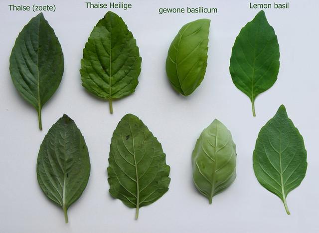 soorten basilicum
