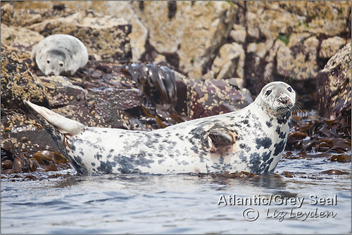 Atlantic or Grey Seal | by Indri_13