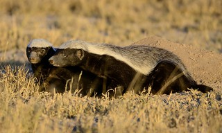 Honey badger (Mellivora capensis) | by Ian N. White