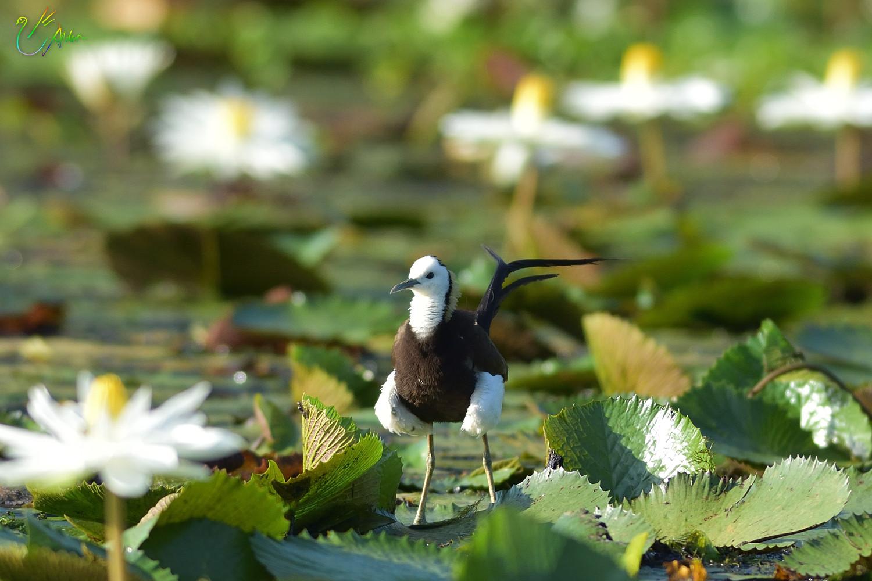 Pheasant-tailed_Jacana_3443