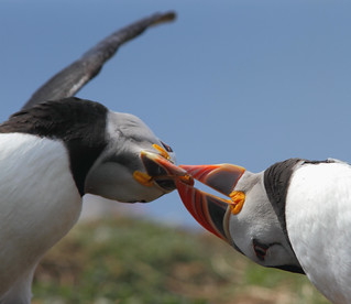 Playful Puffins - Explored | by alison brown 35