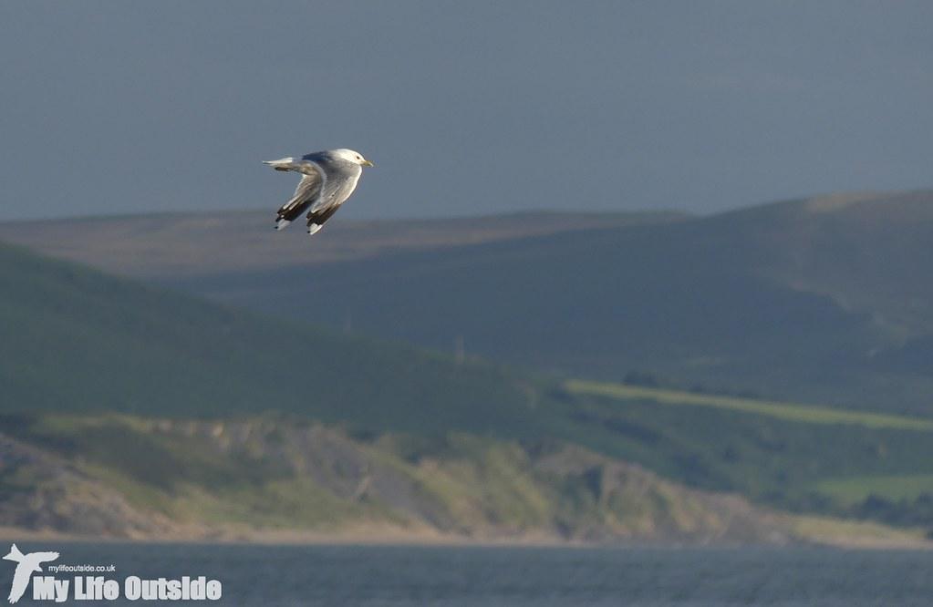 P1030942 - Common Gull, Prembrey