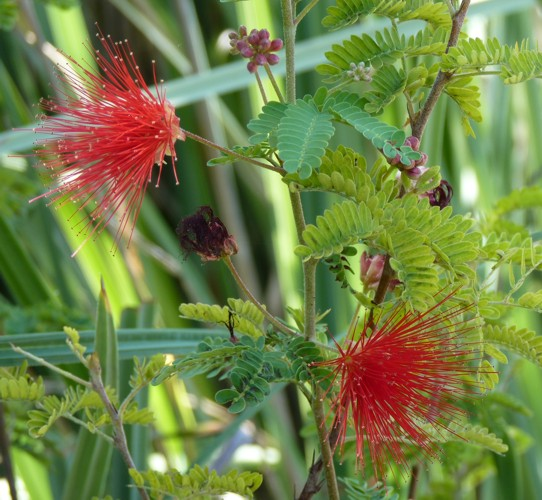 Calliandra californica 29204626714_cd75b201ab_o