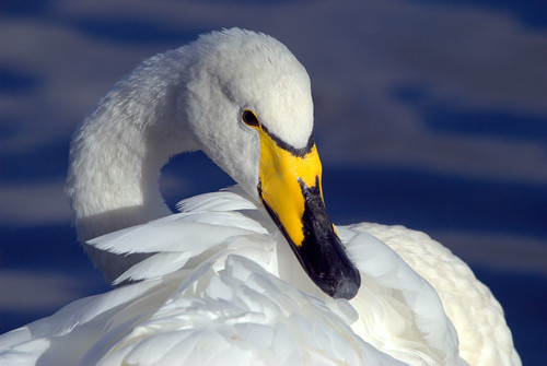 Whooper Swan Portrait | by Margaret S.S
