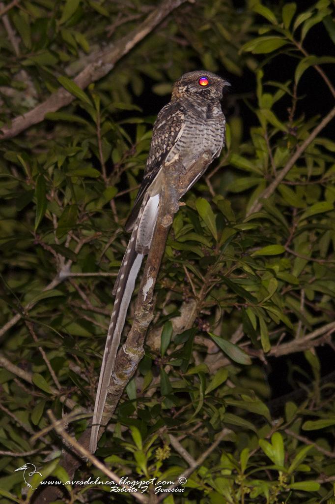 Atajacaminos tijera (Scissor-tailded Nightjar) Hydropsalis torquata