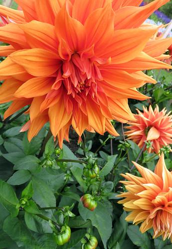 Orange Dahlias in the Dublin Botanical Garden in Ireland