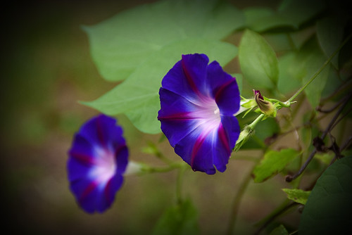 ECF - Morning Glories | by JessaLu