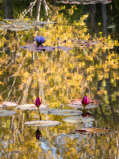 water lilies with reflected fall colors