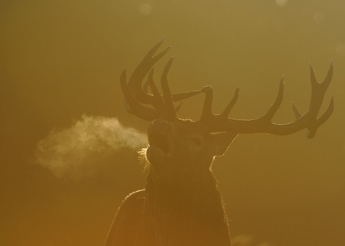 Red Deer Stag | by Benjamin Joseph Andrew