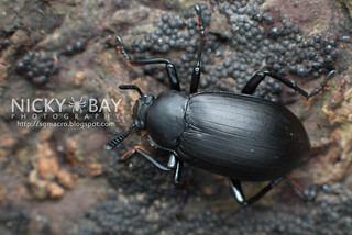 Darkling Beetle (Eucyrtus sp.) - DSC_7098