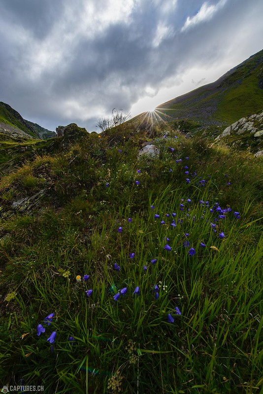 Wild flowers in the morning - Greina