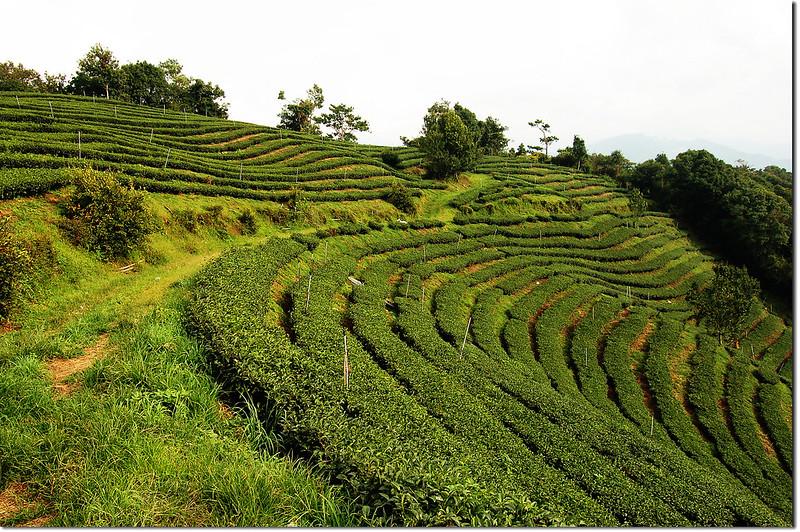 眉溪山茶園 1