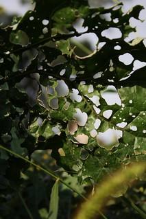 2016-9-24. Kale post-caterpillars